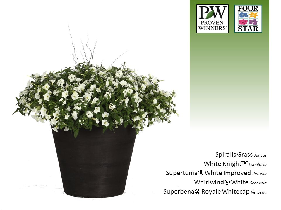 Spiralis Grass Juncus White Knight  Lobularia Supertunia  White Improved Petunia Whirlwind  White Scaevola Superbena  Royale Whitecap Verbena