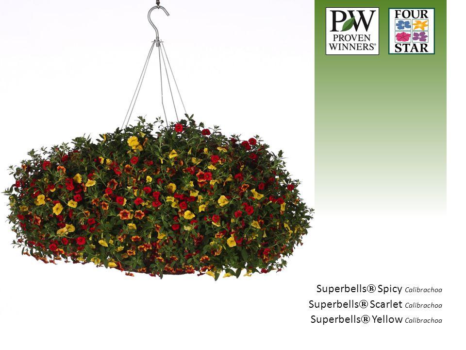 Superbells  Spicy Calibrachoa Superbells  Scarlet Calibrachoa Superbells  Yellow Calibrachoa