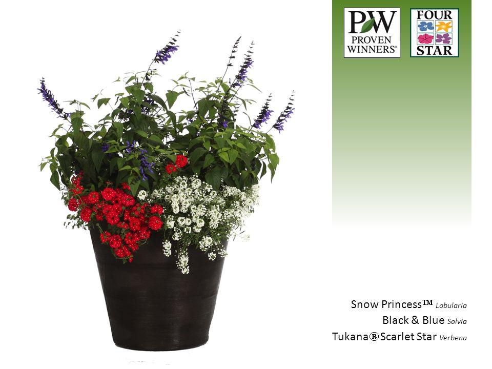 Snow Princess  Lobularia Black & Blue Salvia Tukana  Scarlet Star Verbena