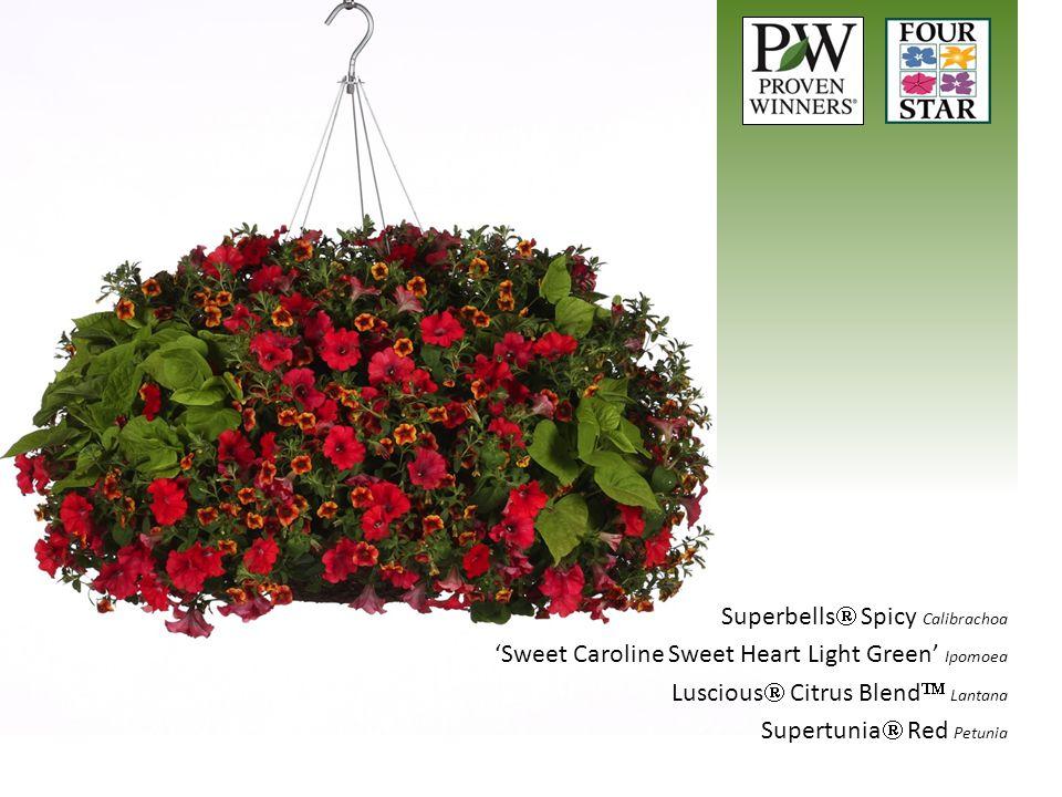 Superbells  Spicy Calibrachoa 'Sweet Caroline Sweet Heart Light Green' Ipomoea Luscious  Citrus Blend  Lantana Supertunia  Red Petunia