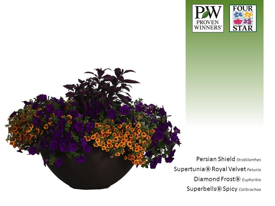 Persian Shield Strobilanthes Supertunia  Royal Velvet Petunia Diamond Frost  Euphorbia Superbells  Spicy Calibrachoa