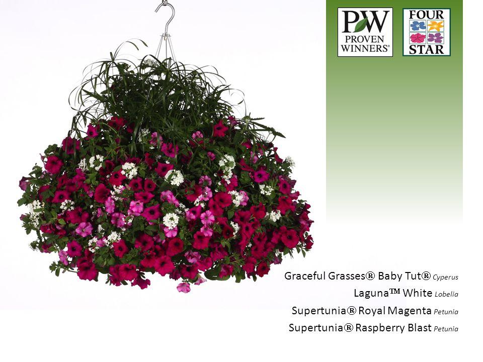 Graceful Grasses  Baby Tut  Cyperus Laguna  White Lobelia Supertunia  Royal Magenta Petunia Supertunia  Raspberry Blast Petunia