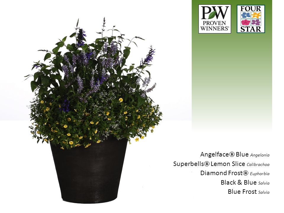 Angelface  Blue Angelonia Superbells  Lemon Slice Calibrachoa Diamond Frost  Euphorbia Black & Blue Salvia Blue Frost Salvia