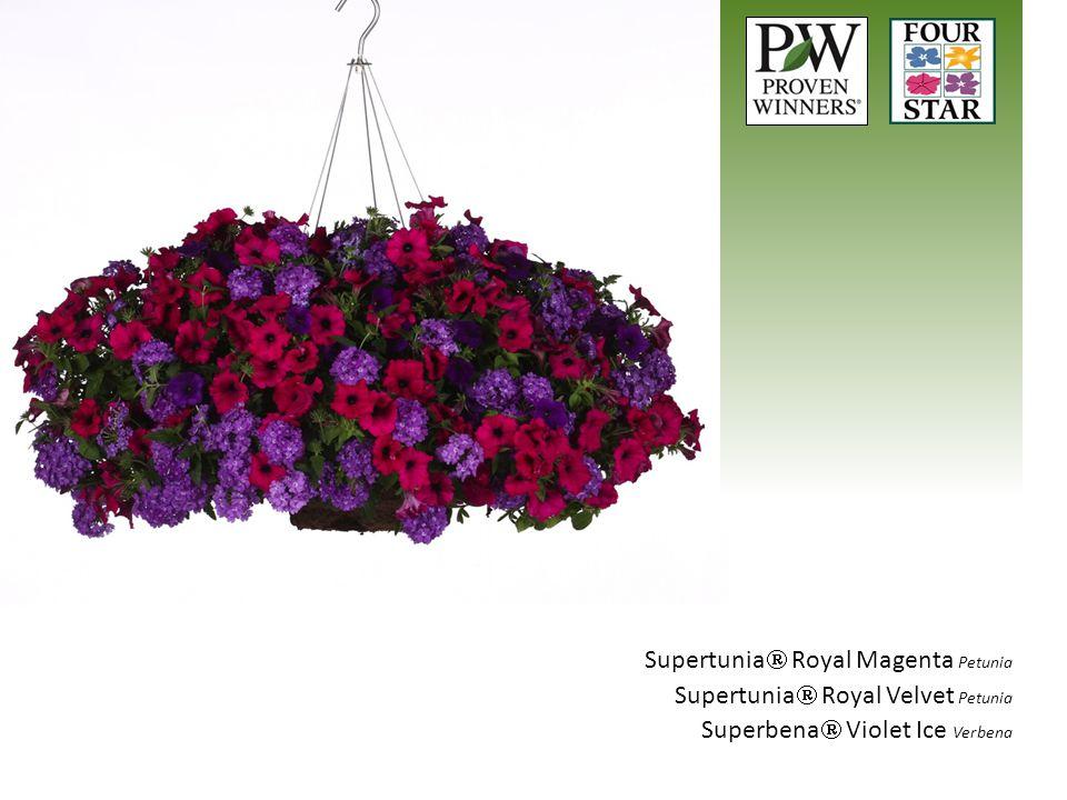 Supertunia  Royal Magenta Petunia Supertunia  Royal Velvet Petunia Superbena  Violet Ice Verbena
