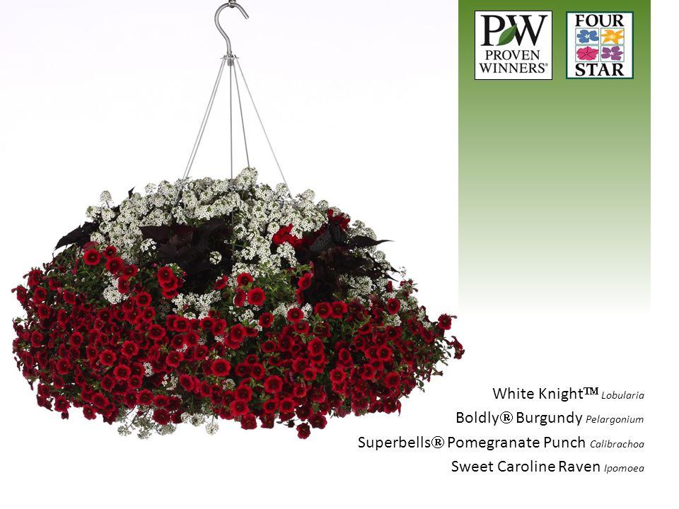 White Knight  Lobularia Boldly  Burgundy Pelargonium Superbells  Pomegranate Punch Calibrachoa Sweet Caroline Raven Ipomoea