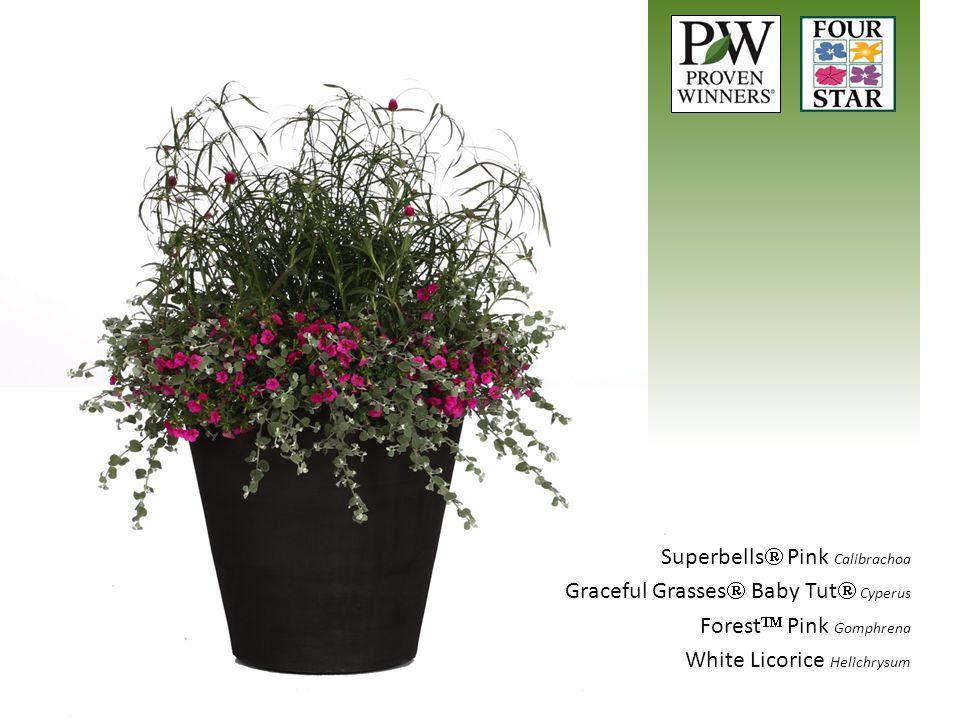 Superbells  Pink Calibrachoa Graceful Grasses  Baby Tut  Cyperus Forest  Pink Gomphrena White Licorice Helichrysum