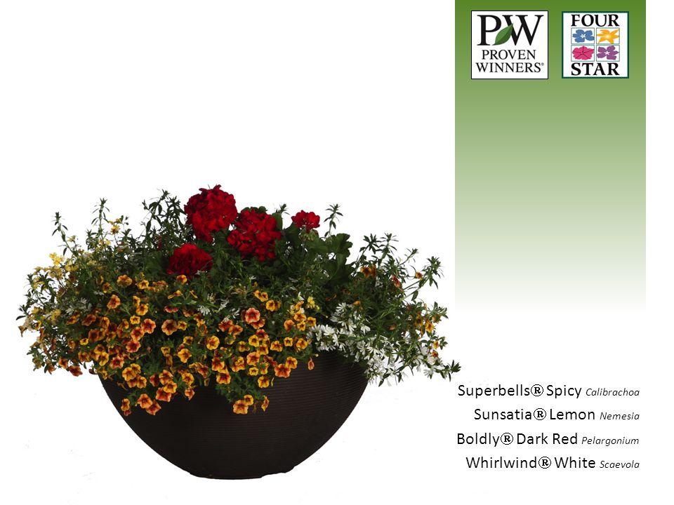 Superbells  Spicy Calibrachoa Sunsatia  Lemon Nemesia Boldly  Dark Red Pelargonium Whirlwind  White Scaevola