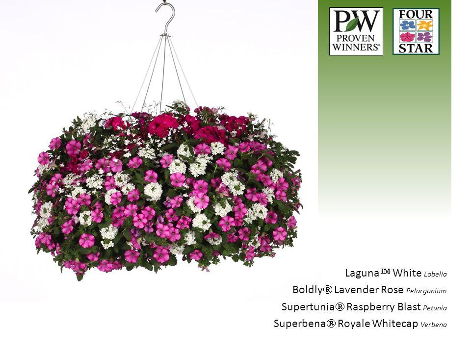 Laguna  White Lobelia Boldly  Lavender Rose Pelargonium Supertunia  Raspberry Blast Petunia Superbena  Royale Whitecap Verbena