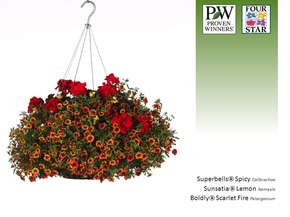 Superbells  Spicy Calibrachoa Sunsatia  Lemon Nemesia Boldly  Scarlet Fire Pelargonium