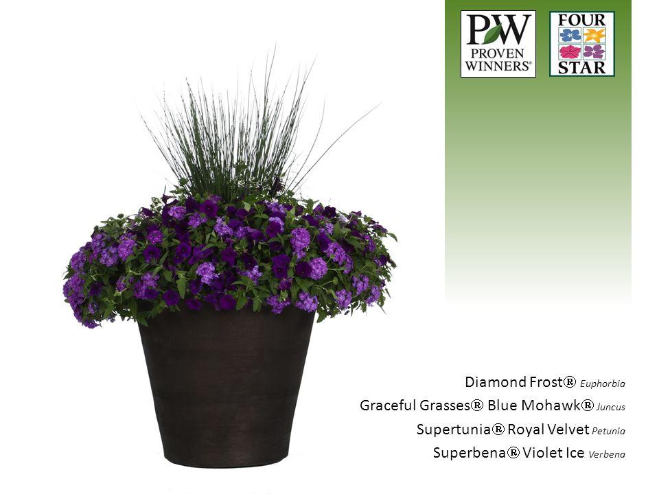 Diamond Frost  Euphorbia Graceful Grasses  Blue Mohawk  Juncus Supertunia  Royal Velvet Petunia Superbena  Violet Ice Verbena