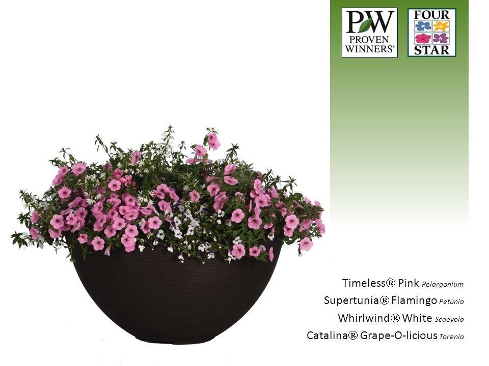 Timeless  Pink Pelargonium Supertunia  Flamingo Petunia Whirlwind  White Scaevola Catalina  Grape-O-licious Torenia