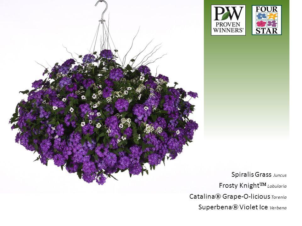 Spiralis Grass Juncus Frosty Knight  Lobularia Catalina  Grape-O-licious Torenia Superbena  Violet Ice Verbena