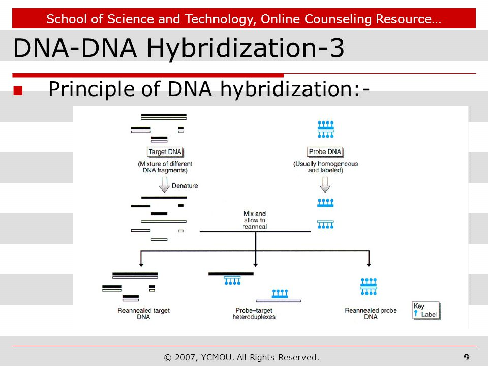 School of Science and Technology, Online Counseling Resource… What We Learn… Principles of nucleic acid hybridization Procedure of carrying out DNA-DNA hybridization Applications of nucleic acid hybridization 20 © 2007, YCMOU.