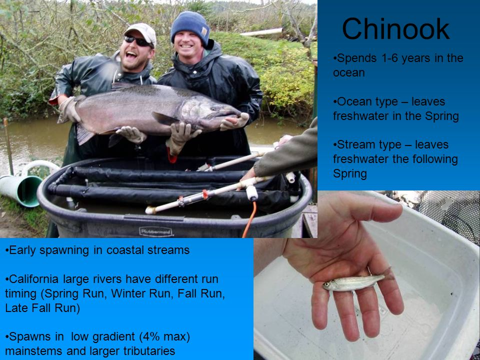 Chinook Spends 1-6 years in the ocean Ocean type – leaves freshwater in the Spring Stream type – leaves freshwater the following Spring Early spawning