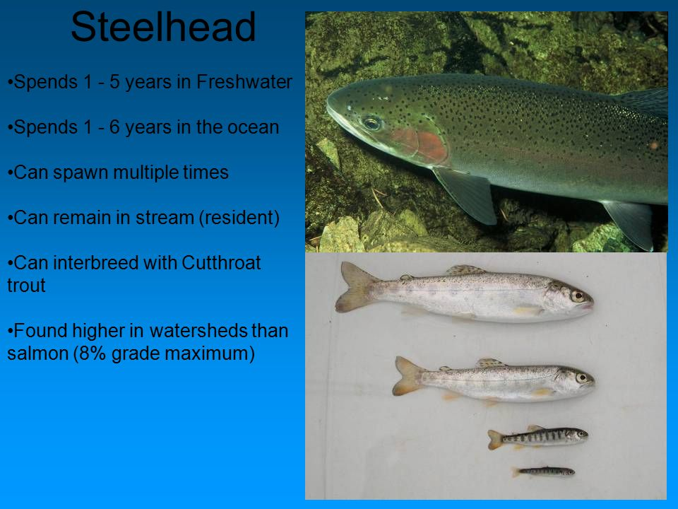 Steelhead Spends 1 - 5 years in Freshwater Spends 1 - 6 years in the ocean Can spawn multiple times Can remain in stream (resident) Can interbreed wit