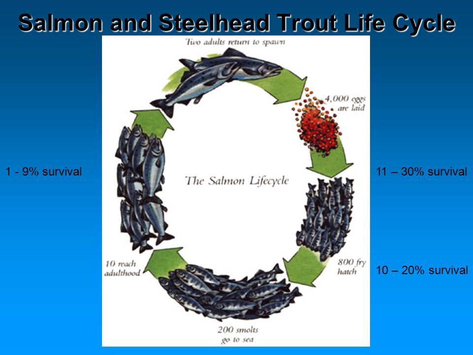 Salmon and Steelhead Trout Life Cycle 11 – 30% survival1 - 9% survival 10 – 20% survival