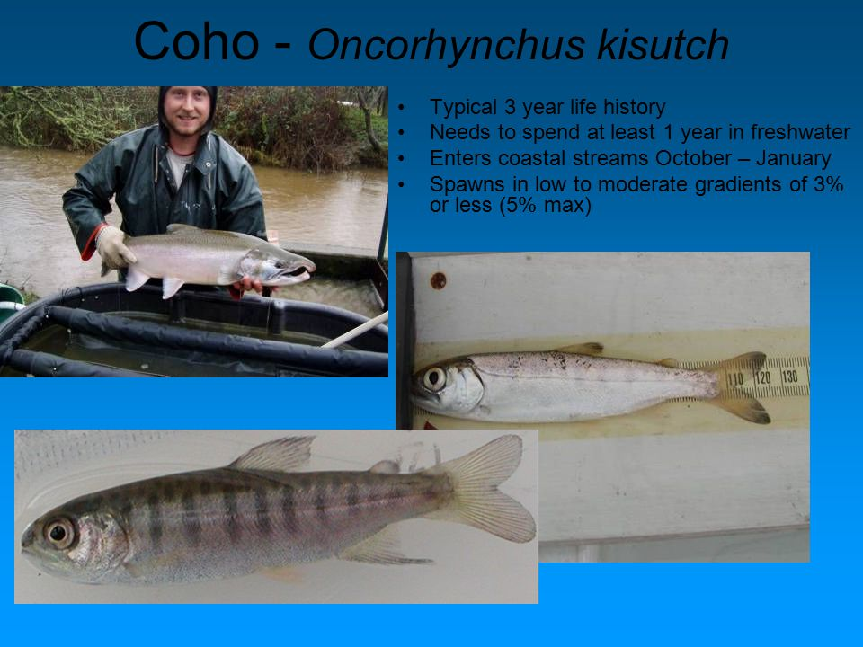Coho - Oncorhynchus kisutch Typical 3 year life history Needs to spend at least 1 year in freshwater Enters coastal streams October – January Spawns in low to moderate gradients of 3% or less (5% max)