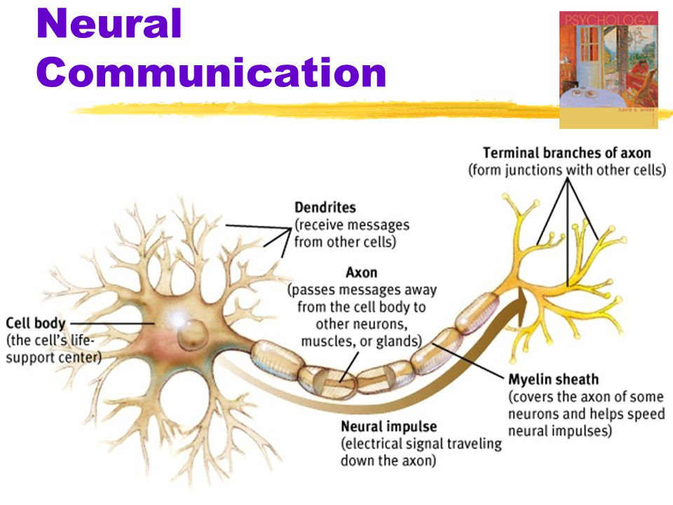 The Nervous System  Nerves  neural cables containing many axons  part of the peripheral nervous system  connect the central nervous system with muscles, glands, and sense organs  Sensory Neurons  neurons that carry incoming information from the sense receptors to the central nervous system