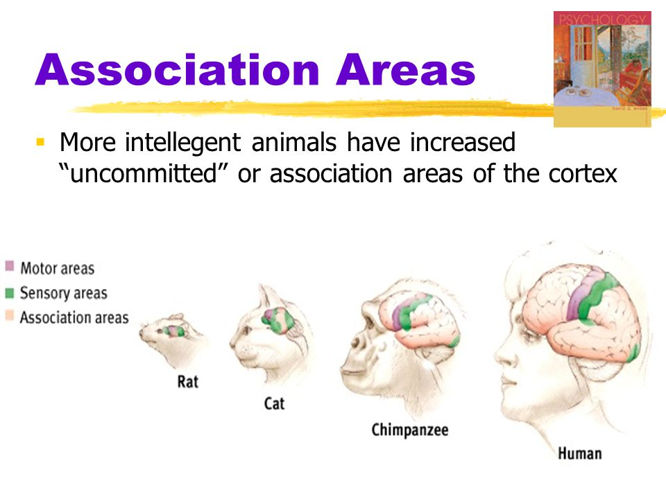 "Association Areas  More intellegent animals have increased ""uncommitted"" or association areas of the cortex"
