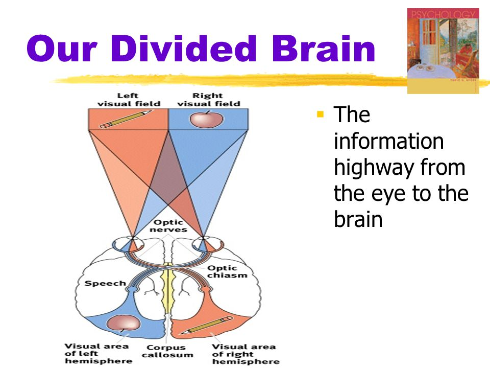 Our Divided Brain  The information highway from the eye to the brain