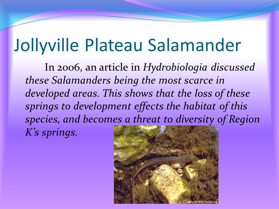 Jollyville Plateau Salamander In 2006, an article in Hydrobiologia discussed these Salamanders being the most scarce in developed areas.