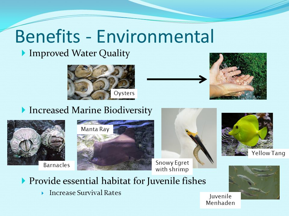  Improved Water Quality  Increased Marine Biodiversity  Provide essential habitat for Juvenile fishes  Increase Survival Rates Benefits - Environmental Oysters Barnacles Manta Ray Snowy Egret with shrimp Yellow Tang Juvenile Menhaden