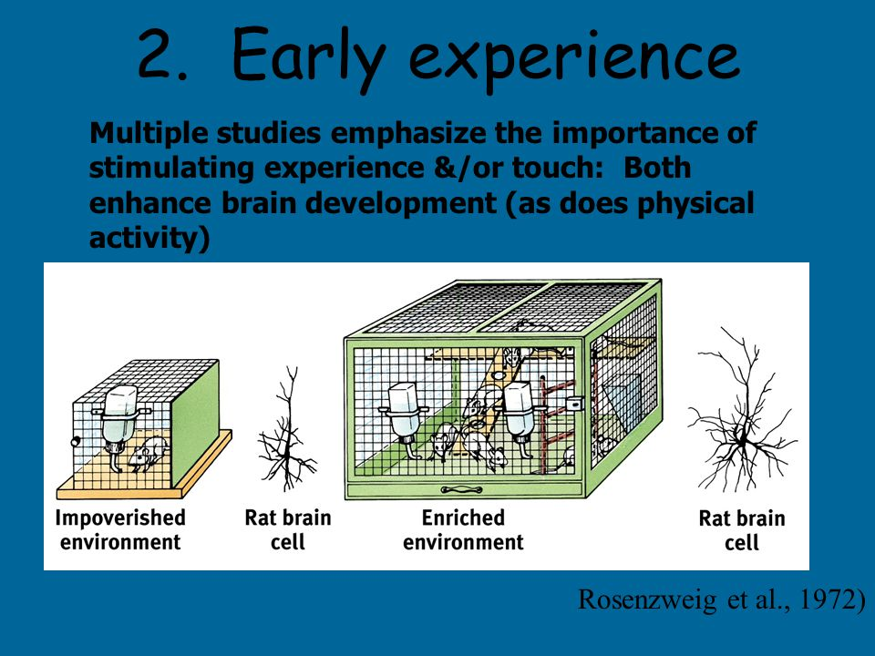 2. Early experience Multiple studies emphasize the importance of stimulating experience &/or touch: Both enhance brain development (as does physical a