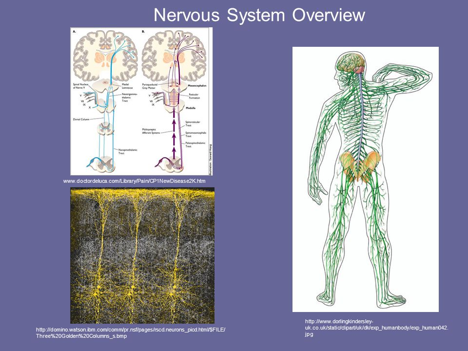 Nervous System Overview http://www.dorlingkindersley- uk.co.uk/static/clipart/uk/dk/exp_humanbody/exp_human042.