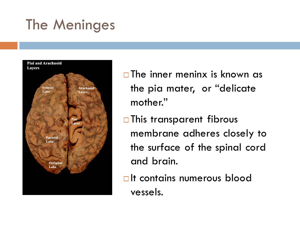The Meninges  The inner meninx is known as the pia mater, or delicate mother.  This transparent fibrous membrane adheres closely to the surface of the spinal cord and brain.