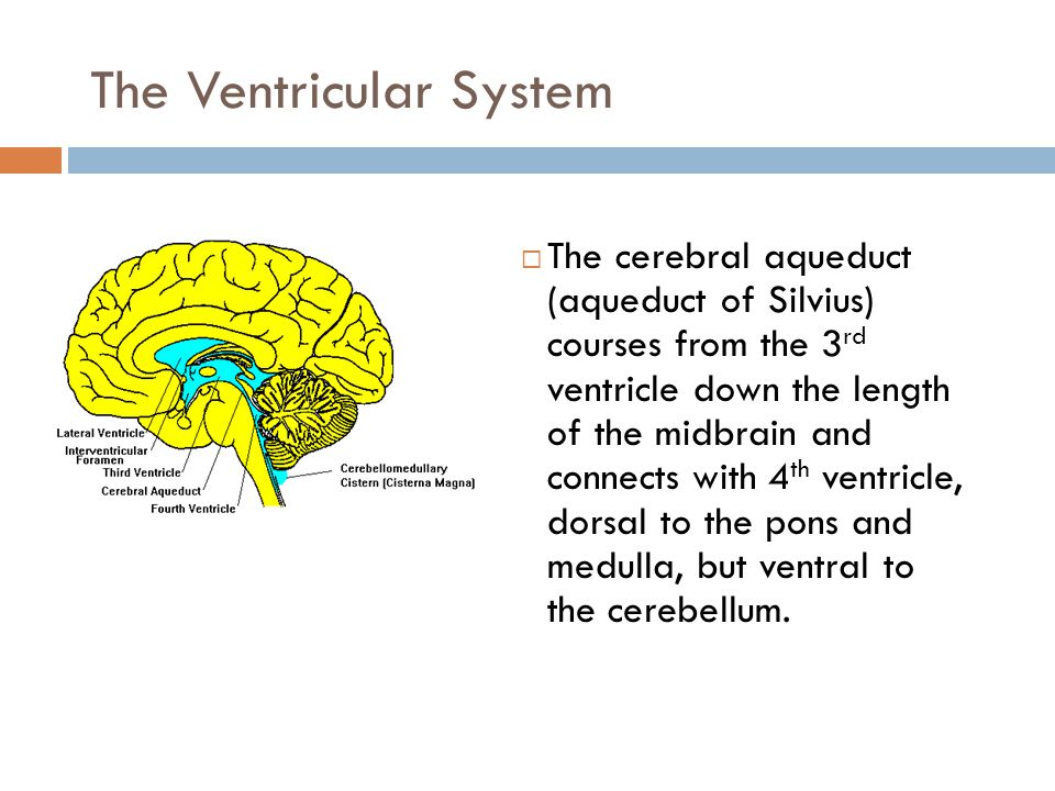 The Ventricular System  The cerebral aqueduct (aqueduct of Silvius) courses from the 3 rd ventricle down the length of the midbrain and connects with 4 th ventricle, dorsal to the pons and medulla, but ventral to the cerebellum.