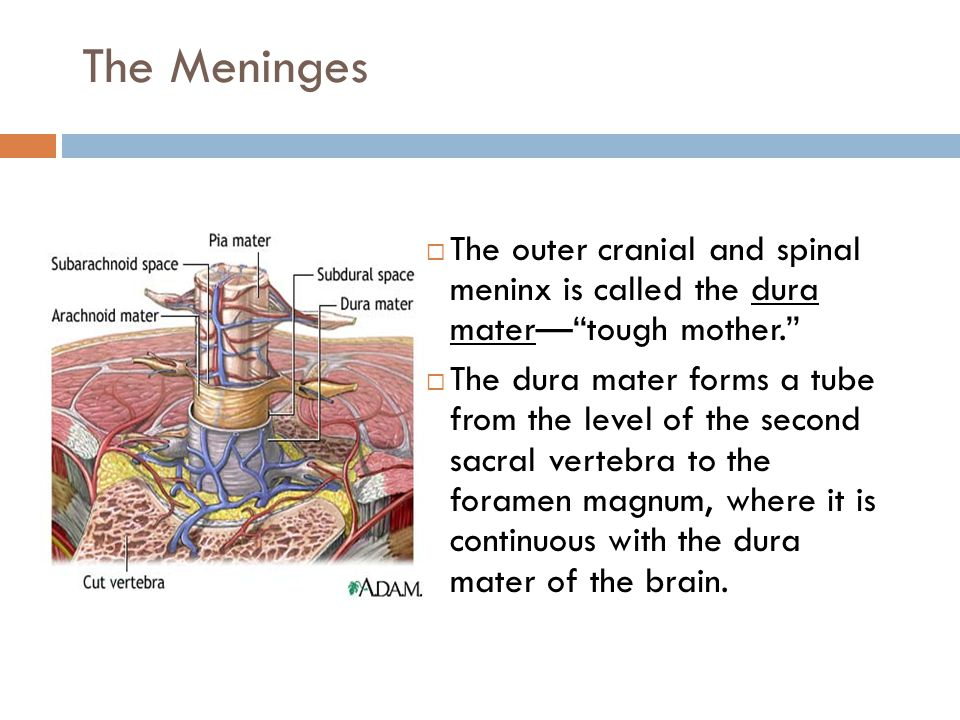 The Meninges  It also fuses with the ependyma of the ventricles to form the choroid plexuses of the ventricles.