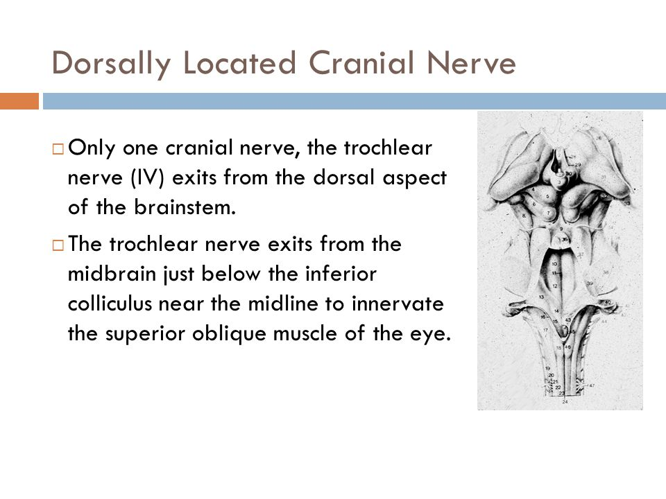 Dorsally Located Cranial Nerve  Only one cranial nerve, the trochlear nerve (IV) exits from the dorsal aspect of the brainstem.