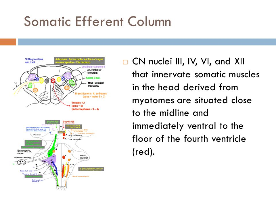 Somatic Efferent Column  CN nuclei III, IV, VI, and XII that innervate somatic muscles in the head derived from myotomes are situated close to the midline and immediately ventral to the floor of the fourth ventricle (red).