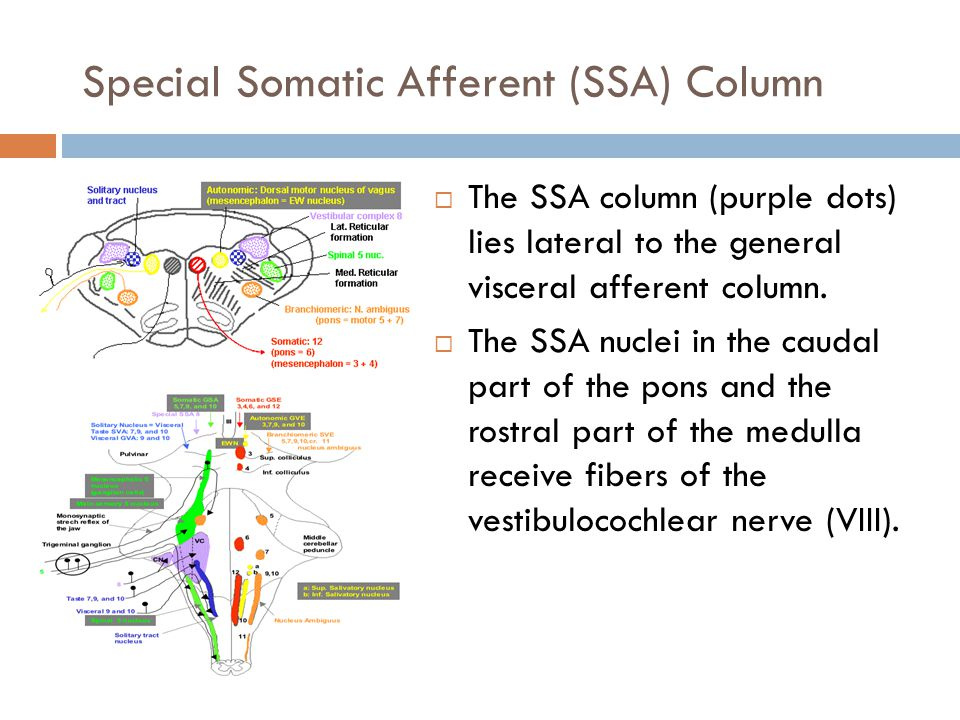 Special Somatic Afferent (SSA) Column  The SSA column (purple dots) lies lateral to the general visceral afferent column.