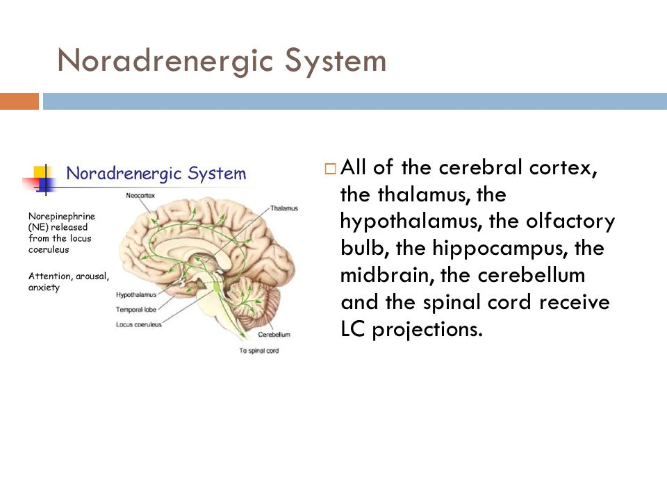 Noradrenergic System  All of the cerebral cortex, the thalamus, the hypothalamus, the olfactory bulb, the hippocampus, the midbrain, the cerebellum and the spinal cord receive LC projections.