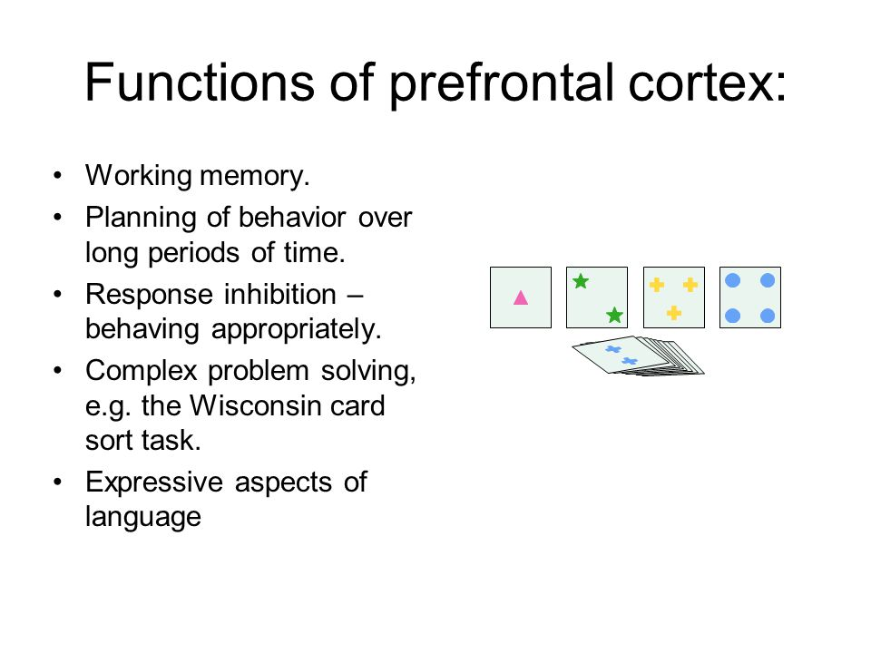 Functions of prefrontal cortex: Working memory. Planning of behavior over long periods of time.
