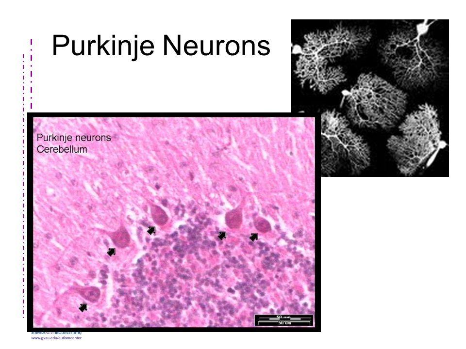 Purkinje Neurons