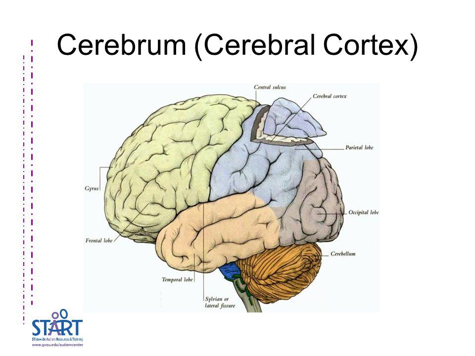 Cerebrum (Cerebral Cortex)