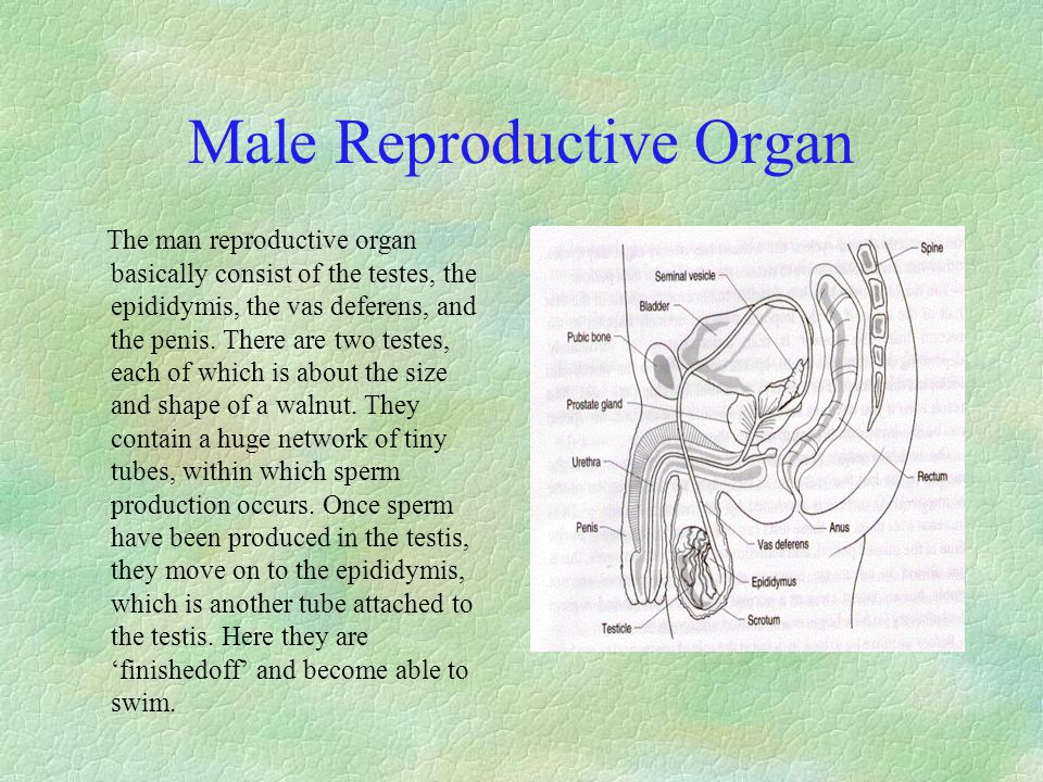 Male Reproductive Organ The man reproductive organ basically consist of the testes, the epididymis, the vas deferens, and the penis. There are two tes