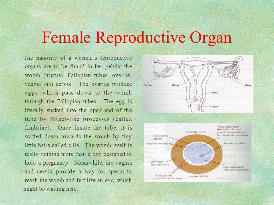 Female Reproductive Organ The majority of a woman's reproductive organs are to be found in her pelvis: the womb (uterus), Fallopian tubes, ovaries, vagina and cervix.