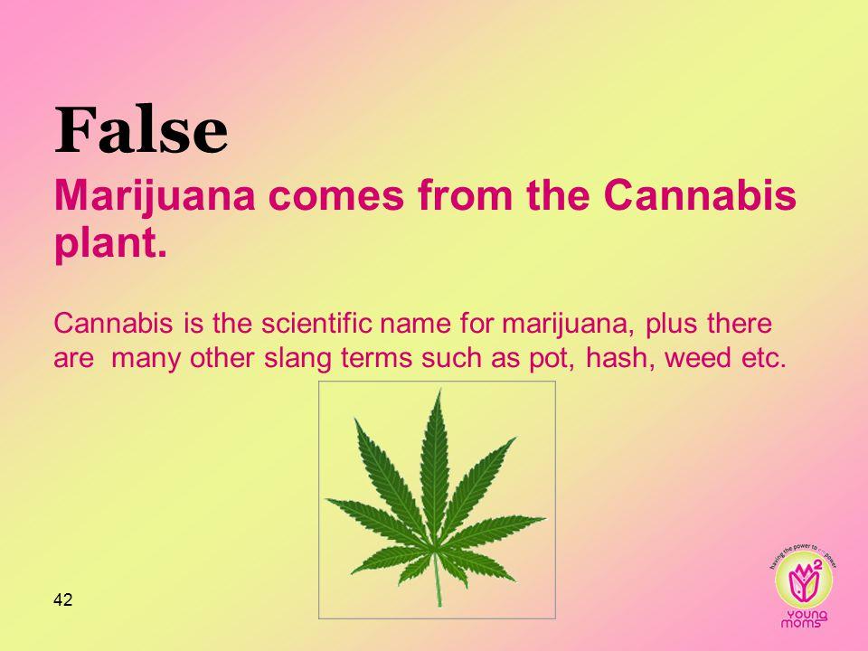 False Marijuana comes from the Cannabis plant.