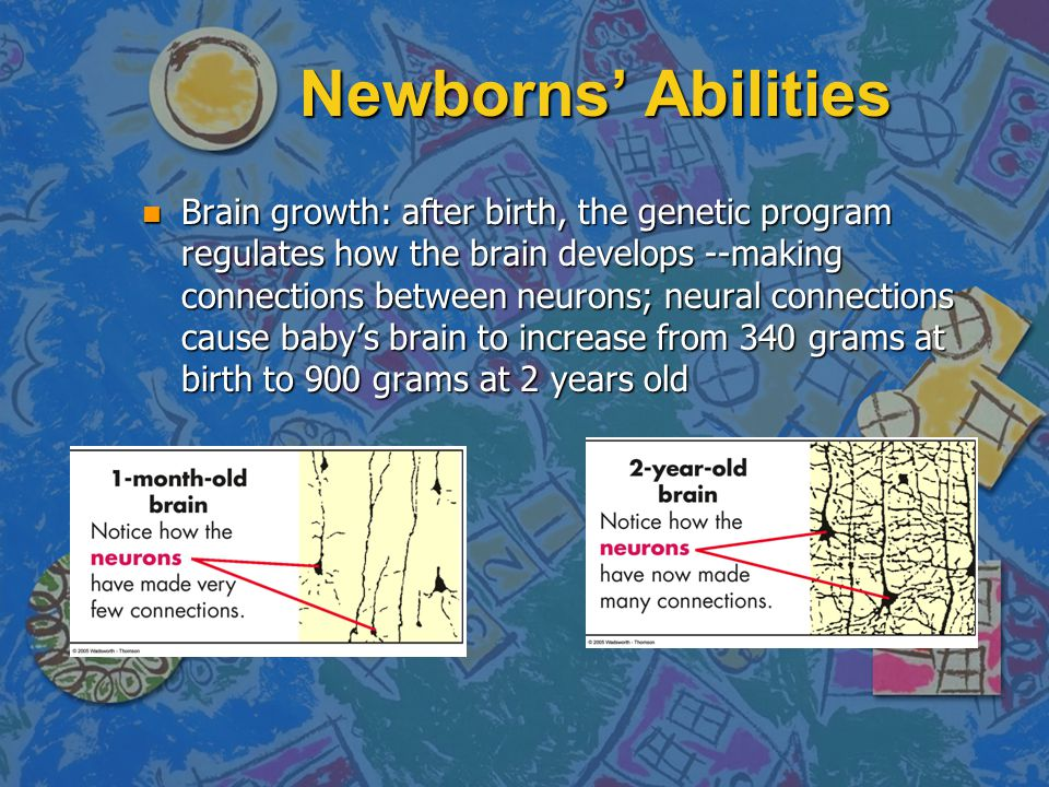 Newborns' Abilities n Brain growth: after birth, the genetic program regulates how the brain develops --making connections between neurons; neural con