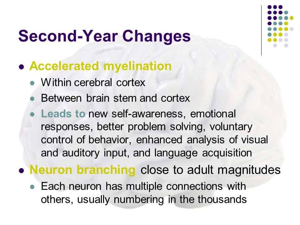 Second-Year Changes Accelerated myelination Within cerebral cortex Between brain stem and cortex Leads to new self-awareness, emotional responses, better problem solving, voluntary control of behavior, enhanced analysis of visual and auditory input, and language acquisition Neuron branching close to adult magnitudes Each neuron has multiple connections with others, usually numbering in the thousands