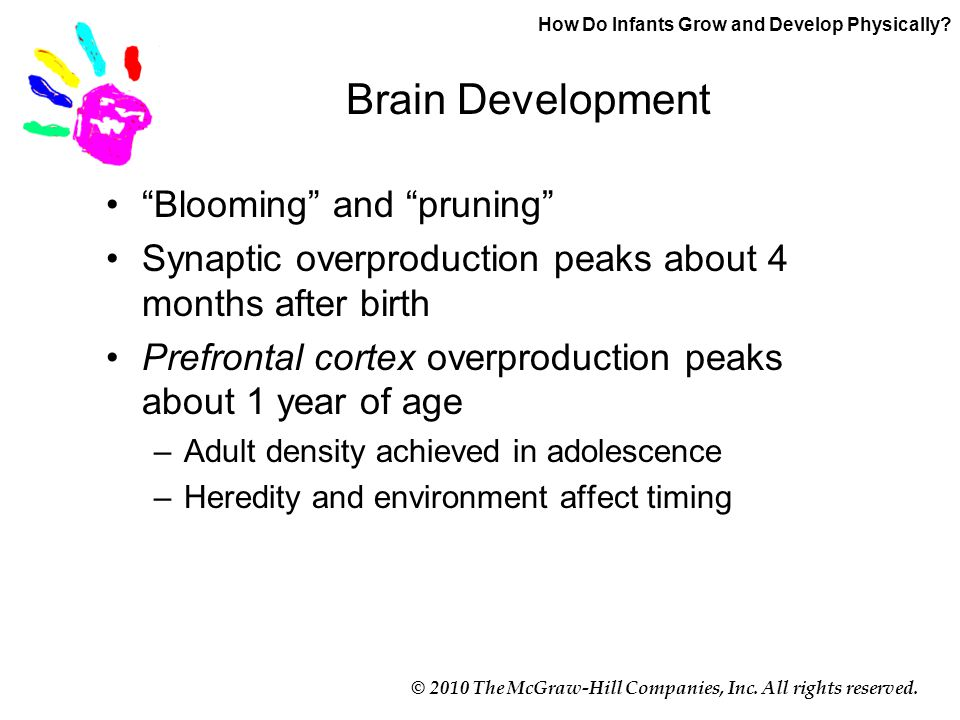 """© 2010 The McGraw-Hill Companies, Inc. All rights reserved. Brain Development """"Blooming"""" and """"pruning"""" Synaptic overproduction peaks about 4 months af"""