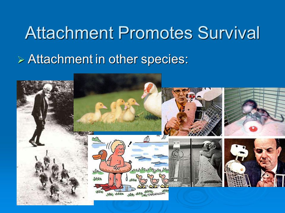 Attachment Promotes Survival  Attachment is a strong, intimate, emotional connection between people that persists over time and across circumstances  John Bowlby and Mary Ainsworth described infant behaviors that engage adults and adult behaviors that increase attachment
