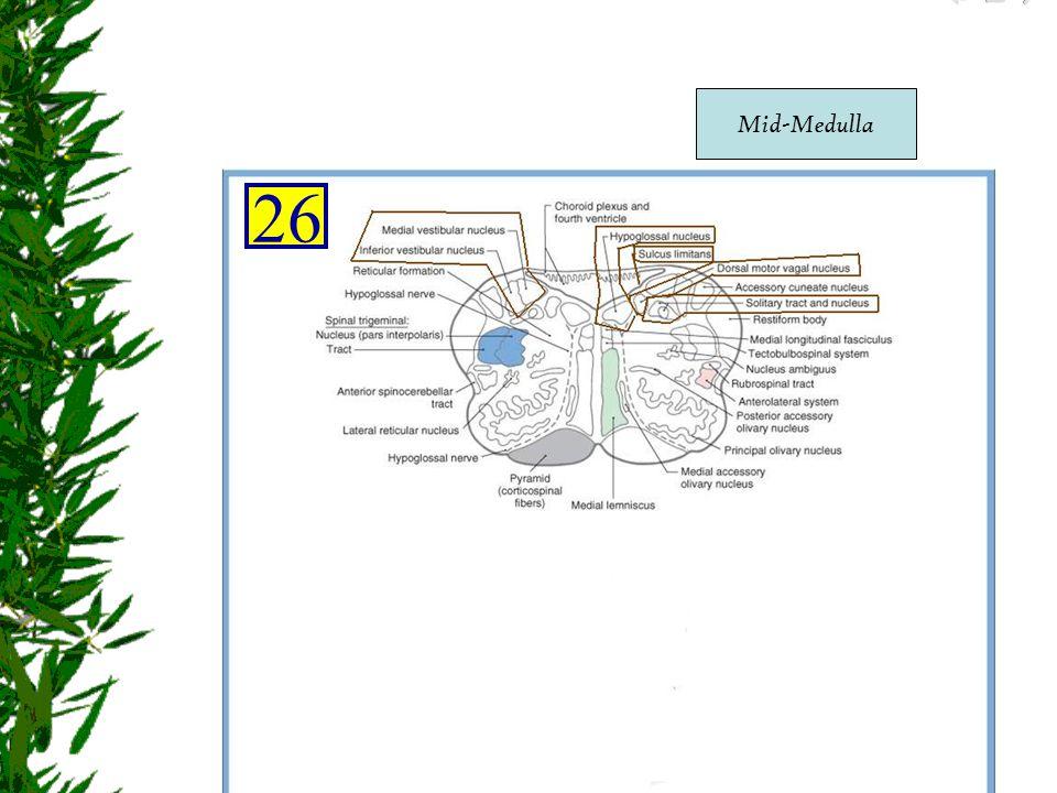 Mid-Medulla