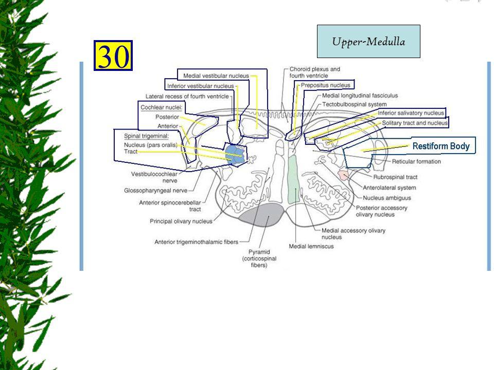 Upper-Medulla