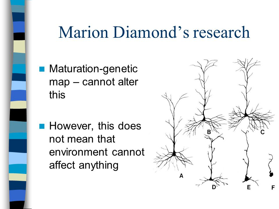 Marion Diamond's research Maturation-genetic map – cannot alter this However, this does not mean that environment cannot affect anything