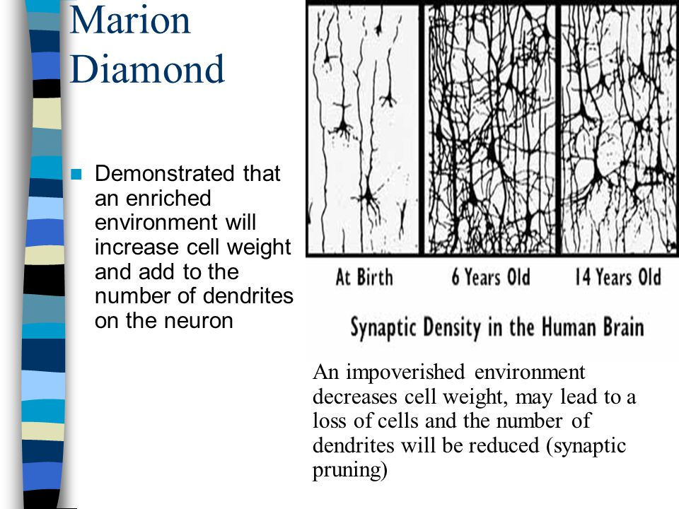 Marion Diamond Demonstrated that an enriched environment will increase cell weight and add to the number of dendrites on the neuron An impoverished en