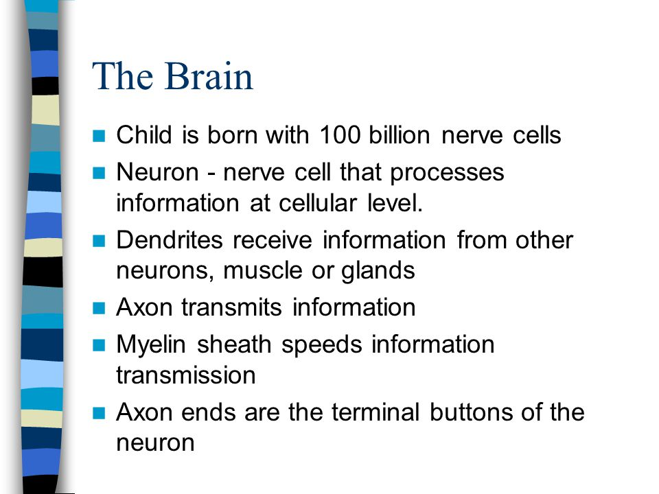 The Brain Child is born with 100 billion nerve cells Neuron - nerve cell that processes information at cellular level. Dendrites receive information f
